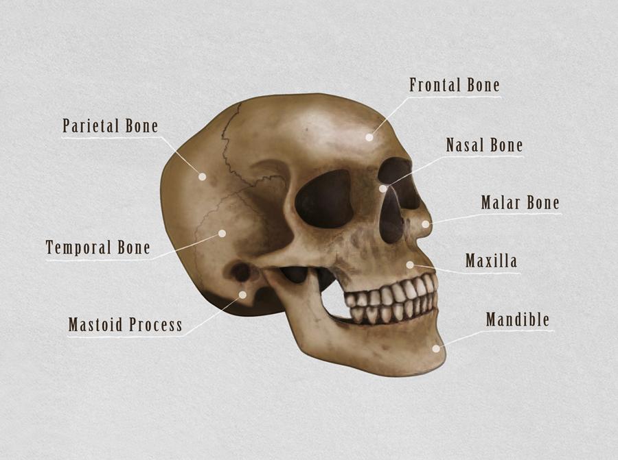 Vika-Digital-Skull-Technical-Illustration